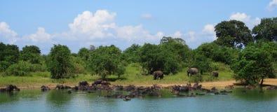 Elefantes e búfalos em Sri Lanka Fotos de Stock