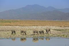 Elefantes e reflexão Foto de Stock