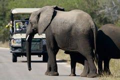 Elefantes e turista Foto de Stock