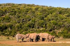 Elefantes, elefantes parque, Suráfrica de Addo Imagen de archivo libre de regalías