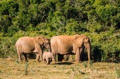 Elefantes, elefantes parque, Suráfrica de Addo Fotografía de archivo libre de regalías