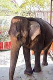 Elefantes em Ayutthaya, símbolo de Tailândia Foto de Stock Royalty Free