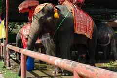 Elefantes em Ayutthaya em Tailândia fotos de stock