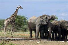 Elefantes em Etosha Nationalpark, Namíbia Imagens de Stock
