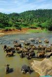 Elefantes em molhar Imagens de Stock Royalty Free