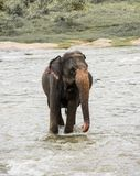 Elefantes em Sri Lanka foto de stock royalty free