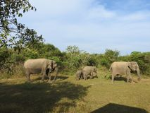 Elefantes em Sri Lanka Dois elefantes asi?ticos novos no parque nacional, Sri Lanka Elefantes asi?ticos na grama com montanhas e foto de stock