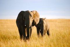 Elefantes em um safari Foto de Stock Royalty Free