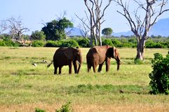 Elefantes en África fotografía de archivo libre de regalías