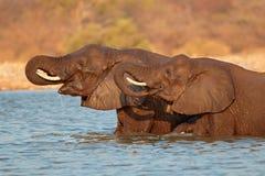 Elefantes en agua Foto de archivo libre de regalías