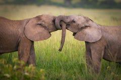 Elefantes en amor Fotografía de archivo libre de regalías