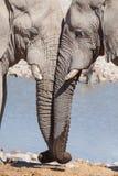Elefantes en amor Fotografía de archivo