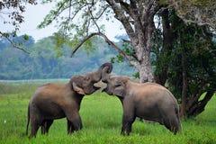 Elefantes en amor, Sri Lanka Imagenes de archivo