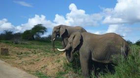 Elefantes en arbusto surafricano imagen de archivo libre de regalías