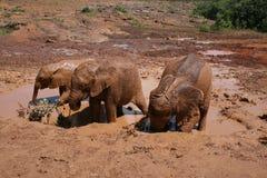 Elefantes en baño de fango Imagen de archivo