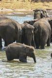 Elefantes en Ceilán Foto de archivo libre de regalías