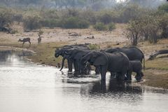 Elefantes en Chobe N P botswana foto de archivo