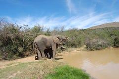 Elefantes en el agujero de riego Imagen de archivo libre de regalías