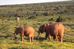 Elefantes en el Daisys Fotos de archivo
