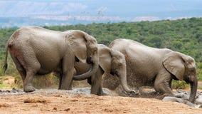 Elefantes en el lugar de riego Fotografía de archivo