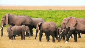 Elefantes en el parque de Amboseli, Kenia metrajes