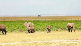 Elefantes en el parque de Amboseli, Kenia almacen de video