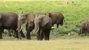 Elefantes en el parque de Amboseli, Kenia almacen de metraje de vídeo