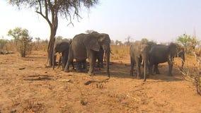 Elefantes en el parque nacional de Chobe, Botswana almacen de metraje de vídeo