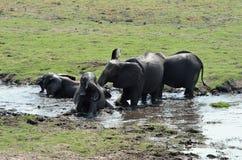 Elefantes en el parque nacional de Chobe, Botswana fotografía de archivo