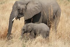 Elefantes en el parque nacional de Ruaha, Tanzania la África del Este Fotografía de archivo