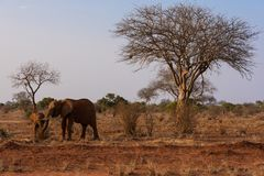 Elefantes en el parque nacional de Tsave, Kenia Foto de archivo libre de regalías