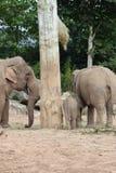 Elefantes en el parque zoológico de Chester Foto de archivo libre de regalías