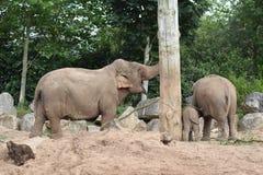 Elefantes en el parque zoológico de Chester Foto de archivo