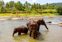 Elefantes en el río Admita Sri Lanka fotos de archivo libres de regalías