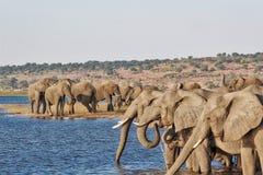 Elefantes en el río de Chobe fotografía de archivo