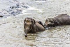 Elefantes en el río Maha Oya en el pinnawala Imagen de archivo