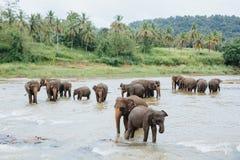 Elefantes en el río Sri Lanka Grupo de elefantes que riegan que se baña en un río tropical Pinnawala Fotos de archivo