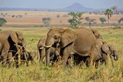 Elefantes en el salvaje Imagenes de archivo