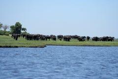 Elefantes en el terreno de aluvión del río de Chobe. Fotografía de archivo