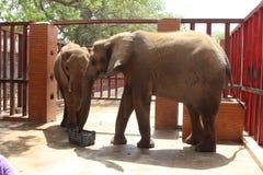 Elefantes en el tiempo del bocado en el parque zoológico de Karachi Fotografía de archivo libre de regalías