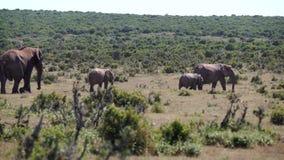 Elefantes en elefante del addo almacen de metraje de vídeo