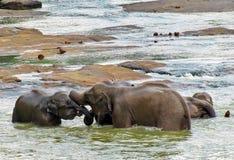 Elefantes en juego del amor en el río foto de archivo libre de regalías