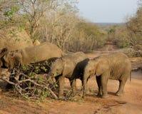 Elefantes en línea del más pequeño al más grande en la sabana Imágenes de archivo libres de regalías