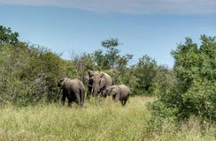 Elefantes en la naturaleza imagenes de archivo