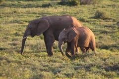 Elefantes en la puesta del sol Imágenes de archivo libres de regalías