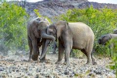 Elefantes en la sabana del parque nacional de Etosha Imagen de archivo libre de regalías