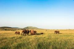 Elefantes en Maasai Mara, Kenia Foto de archivo libre de regalías