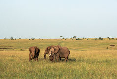Elefantes en Maasai Mara, Kenia Foto de archivo
