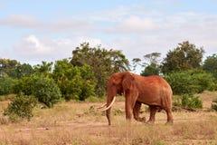 Elefantes en naturaleza Safari africano en Kenia con los árboles debajo del cielo azul imagenes de archivo