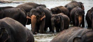 Elefantes en Sri Lanka fotografía de archivo libre de regalías